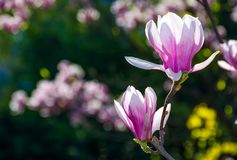 Magnolia flower blossom in spring. Beautiful spring background. Magnolia flowers closeup on a branch. blurred background of blossoming garden Stock Photo