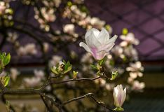 Beautiful spring background with magnolia flowers. Pink tender buds on branches Royalty Free Stock Images