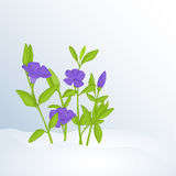 Beautiful spring background with periwinkle in snow for congratulations with spring Stock Photo