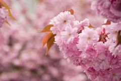 Pink blossomed sakura flowers. Beautiful spring background with pink Sakura flowers closeup on a branch on the blurred background of blossoming garden in Stock Images