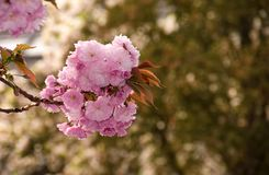 Sakura flower blossom in garden at springtime. Beautiful spring background with pink Sakura flowers closeup on a branch on the blurred background of blossoming stock photography