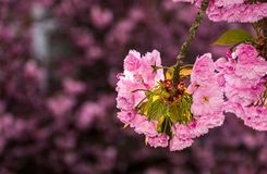 Sakura flower blossom in garden at springtime. Beautiful spring background. pink Sakura flowers closeup on a branch. blurred background of blossoming garden in royalty free stock images