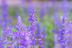 Beautiful spring background with Salvia farinacea Benth. Stock Photo