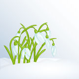 Beautiful spring background with snowdrops in snow for congratulations. Beautiful spring background with snowdrops in snow. Greeting cards congratulations with Stock Photography