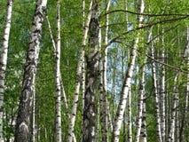Beautiful spring birch Stock Image