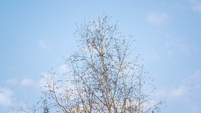 Beautiful spring birch swaying in the breeze against a blue sky. stock video