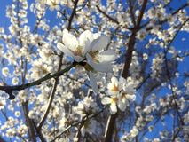 Beautiful Spring Blooming with blue sky. Beautiful Flowers, spring blooming, fruit tree blooming with blue sky royalty free stock image