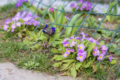 Beautiful spring blooming  primroses in a  garden Stock Photo