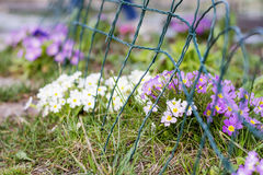 Beautiful spring blooming  primroses in a  garden Royalty Free Stock Image
