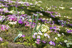 Beautiful spring blooming  primroses in a  garden Stock Image