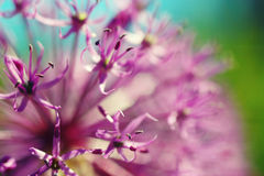 Beautiful spring blooming purple allium flower close up Royalty Free Stock Photography