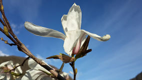 Beautiful spring blossom, white magnolia flower. Spring blossom, white magnolia flower and blue sky Stock Photo