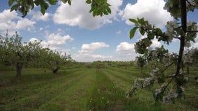 Beautiful spring blossoming apple tree garden, time lapse 4K. Beautiful spring blossoming apple tree garden orchard and clouds motion, time lapse 4K stock video