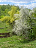 Beautiful spring blossoming apple tree in the ravine by river Stock Image