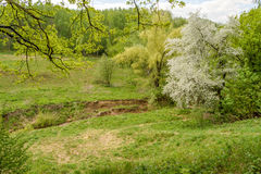 Beautiful spring blossoming apple tree in the ravine by river Royalty Free Stock Images