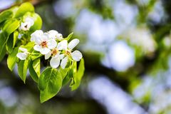 Beautiful spring blossoming pear tree. With low dof royalty free stock photos