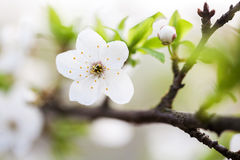 Beautiful spring blossoming plum tree Stock Photo