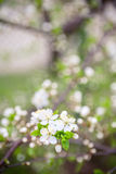 Beautiful spring blossoming plum tree Royalty Free Stock Photos