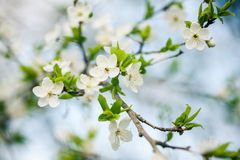 Beautiful spring blossoming plum tree Royalty Free Stock Photo