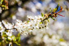 Beautiful spring blossoming plum tree Royalty Free Stock Photos