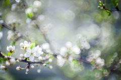 Beautiful spring blossoming plum tree Stock Image
