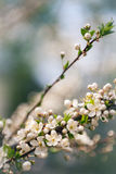 Beautiful spring blossoming plum tree Stock Photos