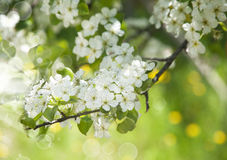 Beautiful Spring Blossoming Tree Background. Stock Images