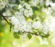 Beautiful Spring Blossoming Tree Background. Royalty Free Stock Photo