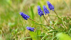Beautiful spring blue flower grape hyacinth with sun and green grass. Macro shot of the garden with a natural blurred background. Stock Images