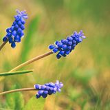 Beautiful spring blue flower grape hyacinth with sun and green grass. Macro shot of the garden with a natural blurred background. Royalty Free Stock Photos