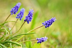 Beautiful spring blue flower grape hyacinth with sun and green grass. Macro shot of the garden with a natural blurred background. Stock Photography