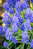 Beautiful spring blue flowers muscali Stock Photography