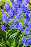 Beautiful spring blue flowers muscali Royalty Free Stock Photo