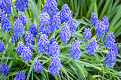 Beautiful spring blue flowers muscali Stock Photo