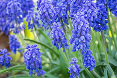 Beautiful spring blue flowers muscali Stock Images