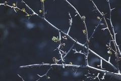 Beautiful spring branches with spines. On a dark  blurred background Royalty Free Stock Images