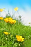 Beautiful spring buttercups Royalty Free Stock Photography