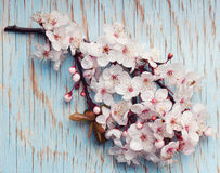 Beautiful spring cherry blossom flowers on a light blue wooden surface Royalty Free Stock Photography