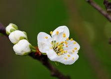 Spring cherry blossom on a tree branch. Beautiful spring cherry blossom on a tree branch stock images