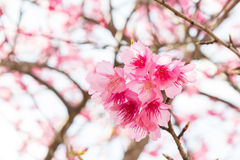 Beautiful spring cherry blossoms Royalty Free Stock Photo