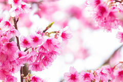 Beautiful spring cherry blossoms Royalty Free Stock Image