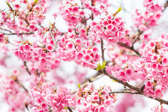Beautiful spring cherry blossoms Royalty Free Stock Photography