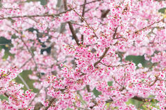 Beautiful spring cherry blossoms Stock Photo