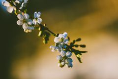 Beautiful spring cherry flowers royalty free stock photo
