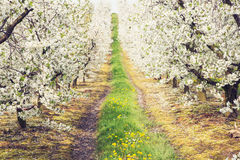 Beautiful spring in the cherry orchard Royalty Free Stock Photo
