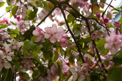 Beautiful pink spring cherry tree flowers blossom, close up. Opening flower royalty free stock photo