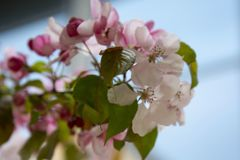 Beautiful pink spring cherry tree flowers blossom, close up. Opening flower. Beautiful spring cherry tree flowers blossom, close up. Opening pink flower royalty free stock photography