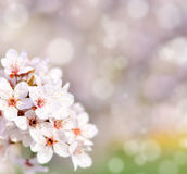 Beautiful spring cherry tree with flowers and bokeh Stock Photos