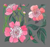 Beautiful spring composition of a pink peonies on taupe background pattern watercolor Royalty Free Stock Photos
