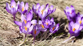 Beautiful spring crocus close-up background stock footage